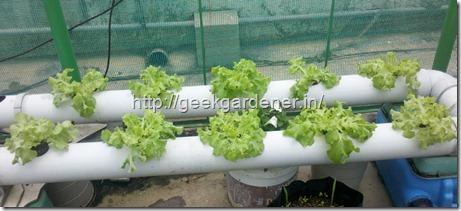 PVC Nutrient Film Technique - Hydroponic Lettuce Production