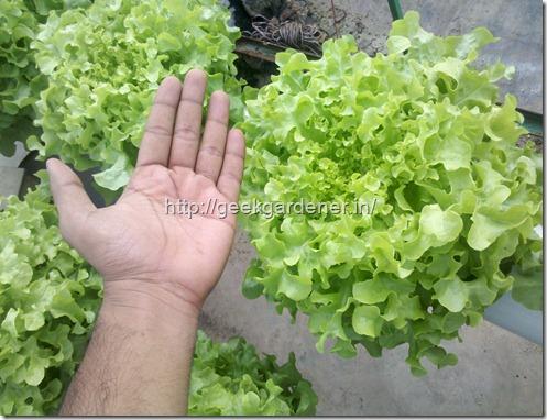 Lettuce Size