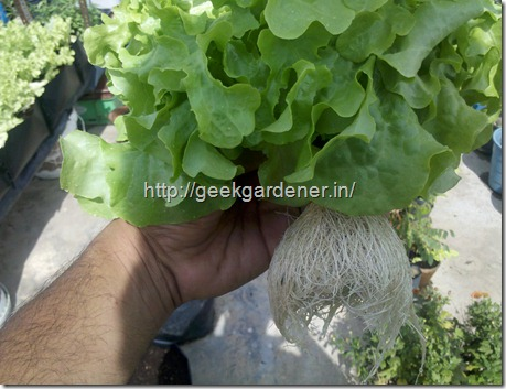 Healthy white roots - Hydroponic Lettuce Production