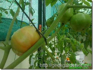 marmande beefsteak tomato plant