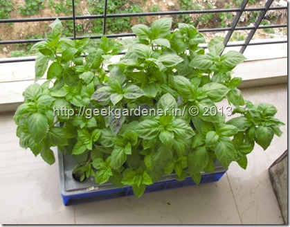 Growing Basil How to grow basil in a Hydroponic Raft system