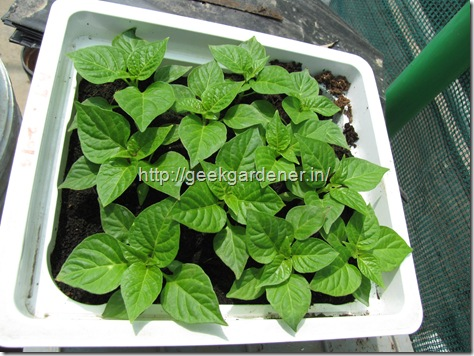 Bhut jolokia seedlings 1 month old