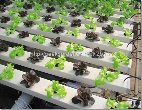Commercial-NFT-Lettuece-0263