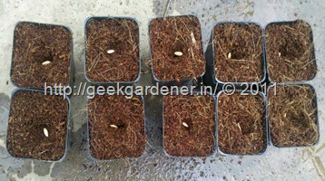 Cucumber_seeds_sowing_1