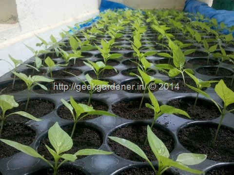 Excellent-germination-bellpepper-geekgardener