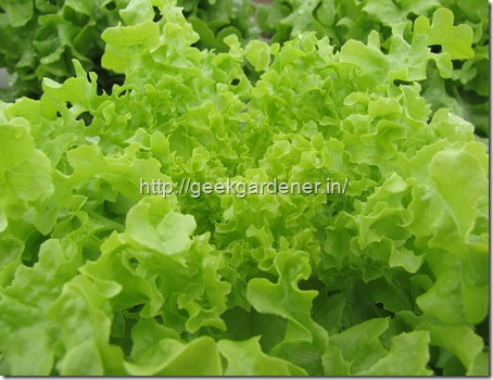 Fresh Lettuce - Harvested Lettuce - Hydroponic Lettuce Production