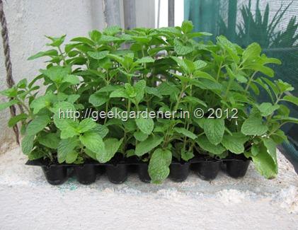 GardenVeggies 036