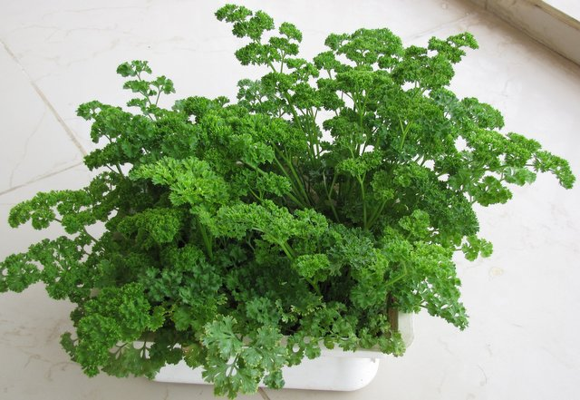 How to grow Parsley in your garden