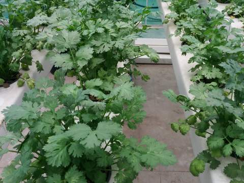 Growing Coriander in Hydroponics NFT System