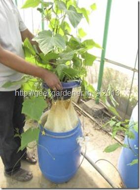 Growing English Cucumber – Hydroponics Kratky method