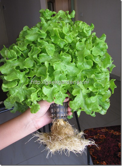 Harvested Lettuce - Hydroponic Lettuce Production