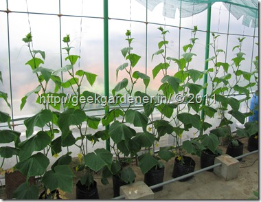 Seedless cucumber in Hydroponics
