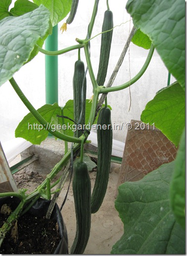 Cucumbers close to maturity