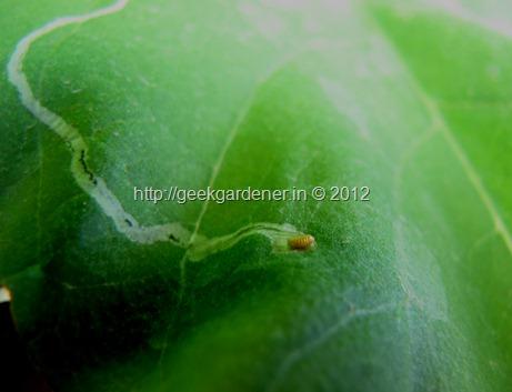 Leaf Miner Larva