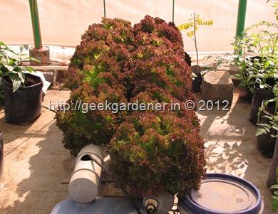 LettuceHarvest-Jan23 002