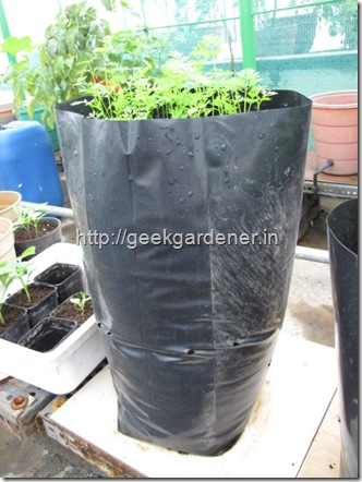 caroot grown in polythene bag