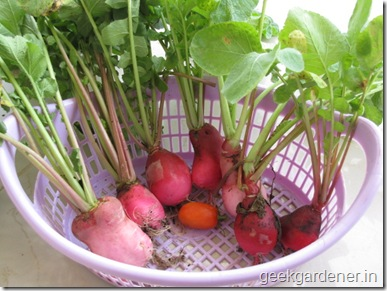 Radish harvest basket