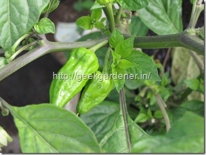 Bhut Jolokia fruits
