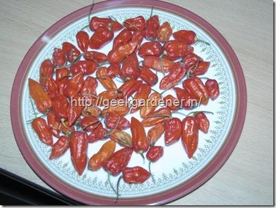 Bhut Jolokia Harvest