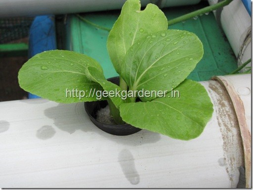 bok choy in hydroponics NFT
