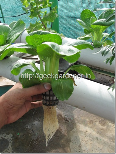 Bok choy NFT root formation