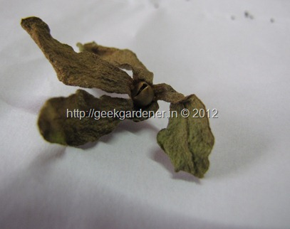 Petunia_Dry_flower