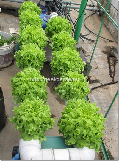 Growing Lettuce in Hydroponics Nutrient Film Technique System