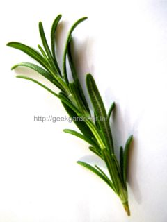 Rosemary Cutting