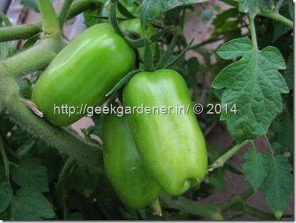 Growing San Marzano tomatoes
