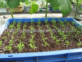 Sow-seeds-big-pot4-geekgardener