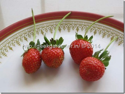 StrawberryGeekgardener