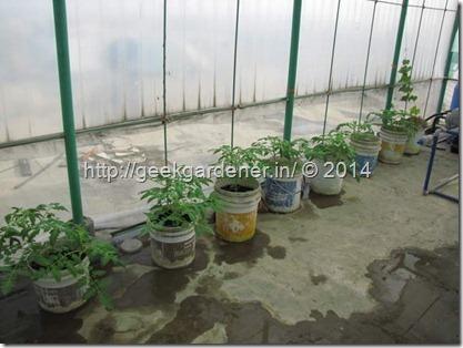 TomatoPlantOld