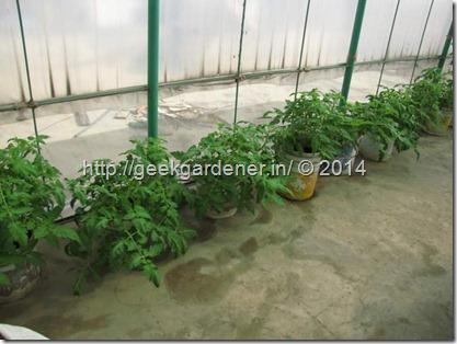 TomatoPlantOld1