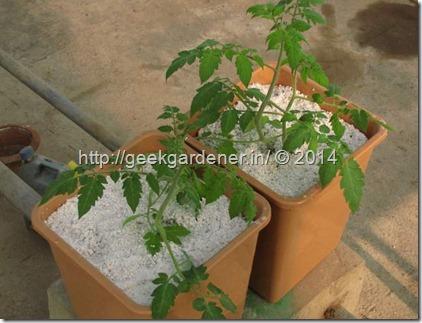TomatoPlantPerlite