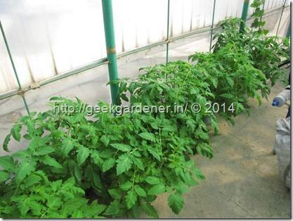 TomatoPlantsinPots