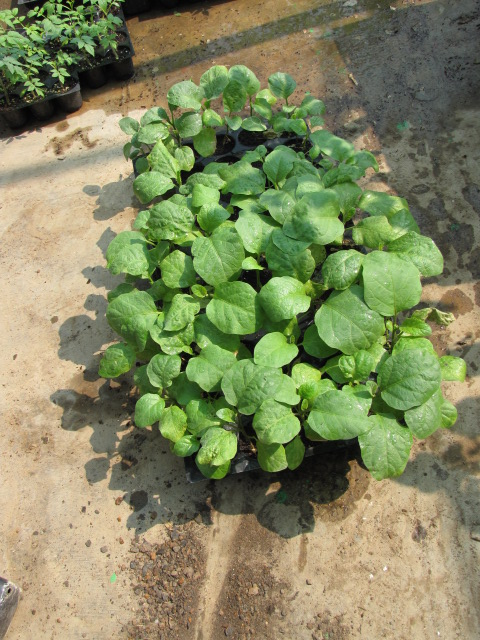 Brinjal seedlings in Propagation tray
