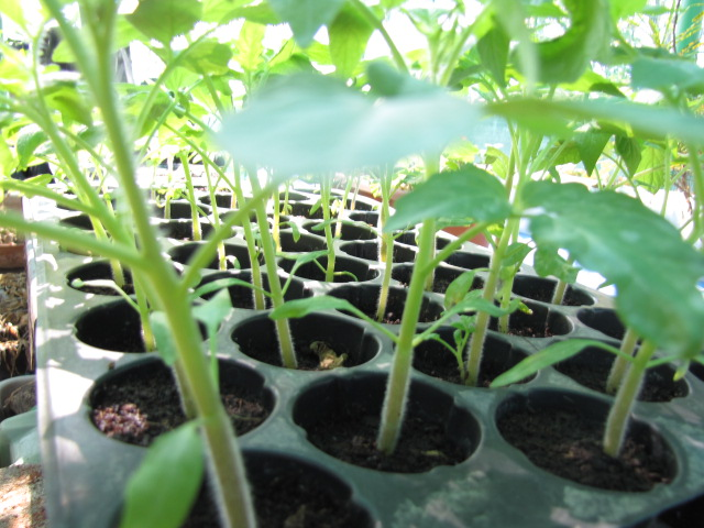 Red Cherry tomato seedlings in propagation tray
