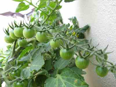 Tomatoes on Truss