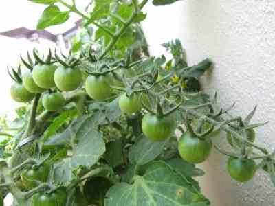 Tomatoes on Truss