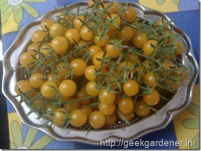 cherry-tomato-harvest
