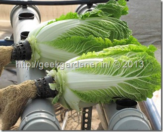 chinese-cabbage-harvest