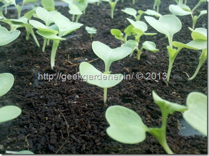chinese-cabbage-seedlings
