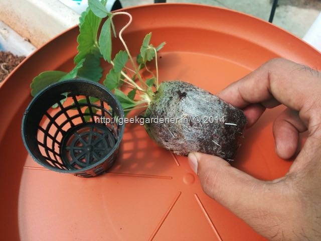 Growing Strawberries: How to grow strawberries