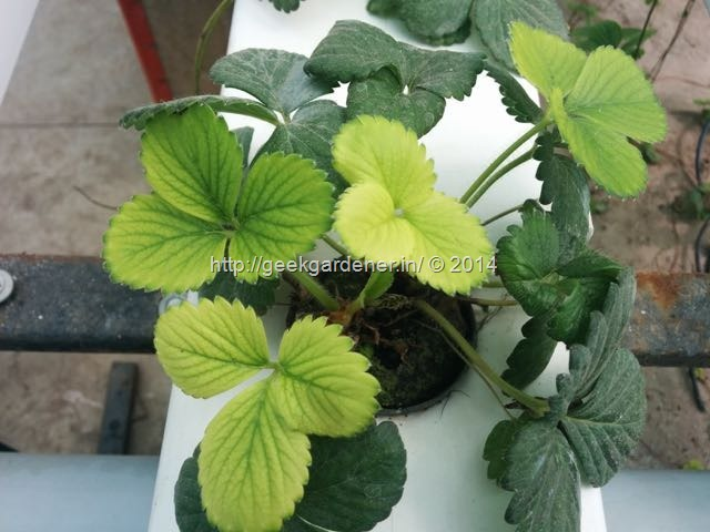 growing strawberries - Iron Deficiency