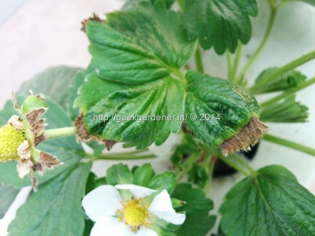 growing strawberries - Calcium Deficiency