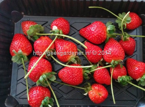 Growing Strawberries - How to grow strawberries in Hydroponic NFT system