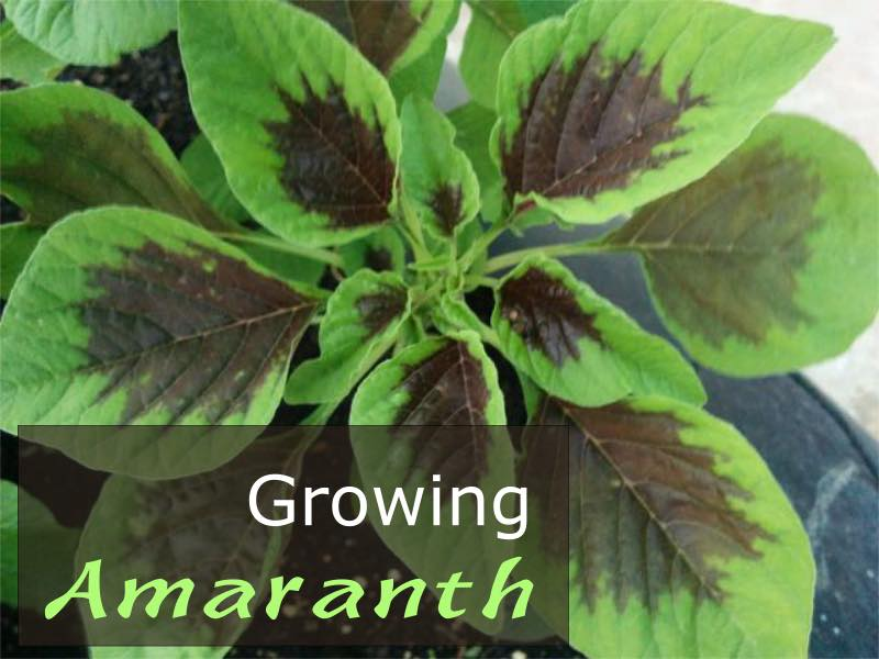 Growing Amaranth - How to grow Amaranth Plant in your Garden