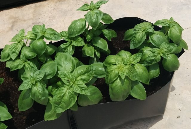 Growing Basil – How to grow basil plants