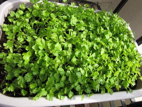 growing-coriander-seedlings-healthy