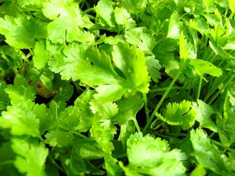 Growing coriander from seeds - ready for harvest